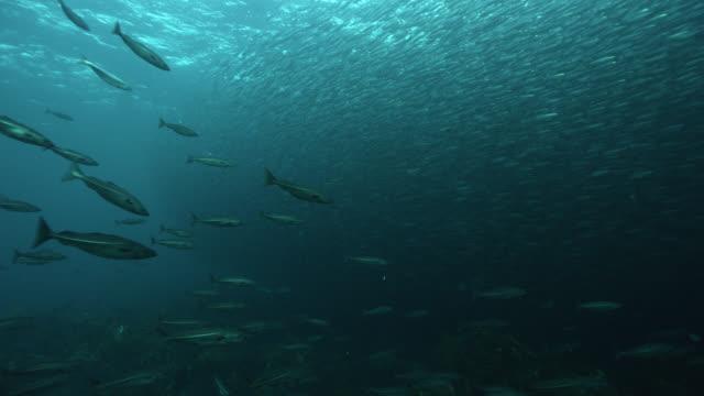 """stockvideo's en b-roll-footage met huge shoal of herring swims in ocean, norway - """"bbc natural history"""""""