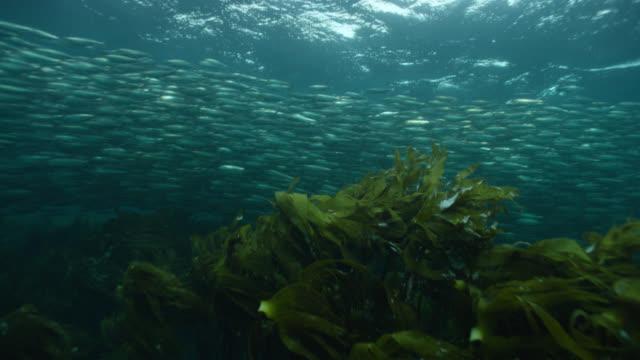 stockvideo's en b-roll-footage met huge shoal of herring swims in ocean, norway - oceaanbodem