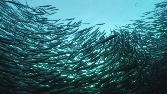 huge shoal of herring swims in ocean, norway - fischschwarm stock-videos und b-roll-filmmaterial