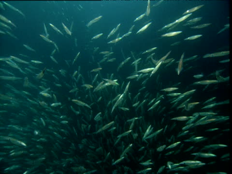 huge shoal of opalescent squid, california - school of fish stock videos & royalty-free footage