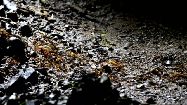 Huge swarm of army ants forage simultaneously over a certain area