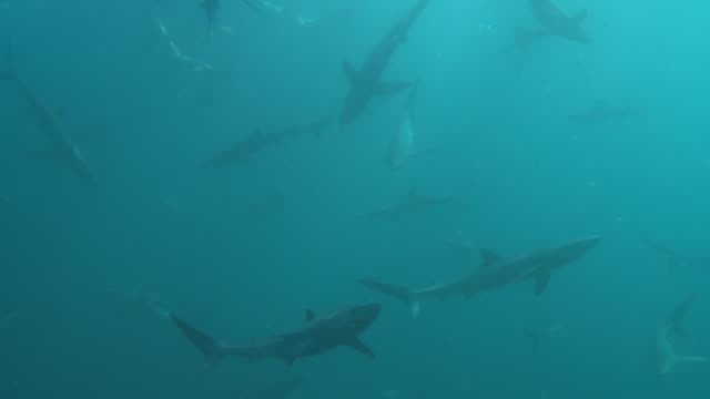 huge swarm of blue sharks - shark stock videos & royalty-free footage