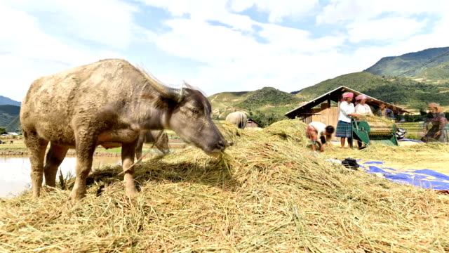 hulling, threshing of rice in rural vietnam. - threshing stock videos & royalty-free footage