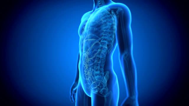 vídeos y material grabado en eventos de stock de human abdomen anatomy - sistema digestivo humano