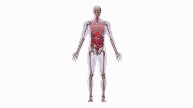 human anatomy - anatomie stock-videos und b-roll-filmmaterial