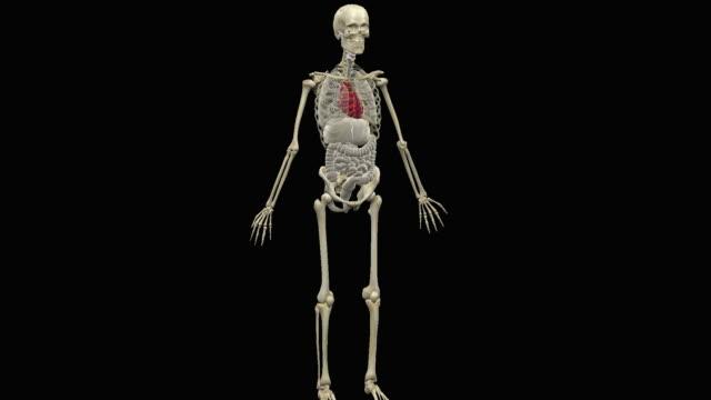 vidéos et rushes de human anatomy - illustration biomédicale