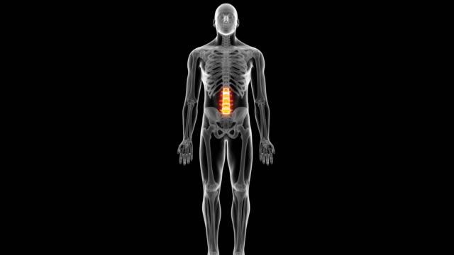Human back bones