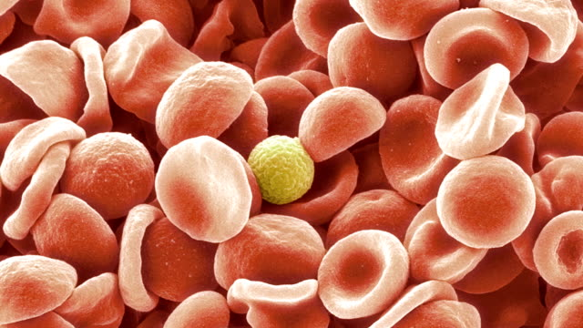 Human blood cells, SEM