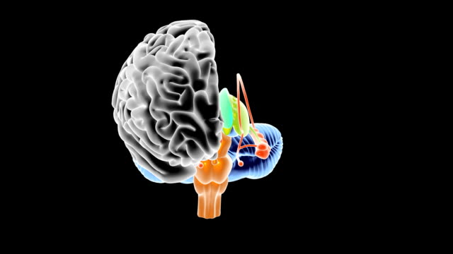 Human Brain Anatomy Stock Footage Video Getty Images