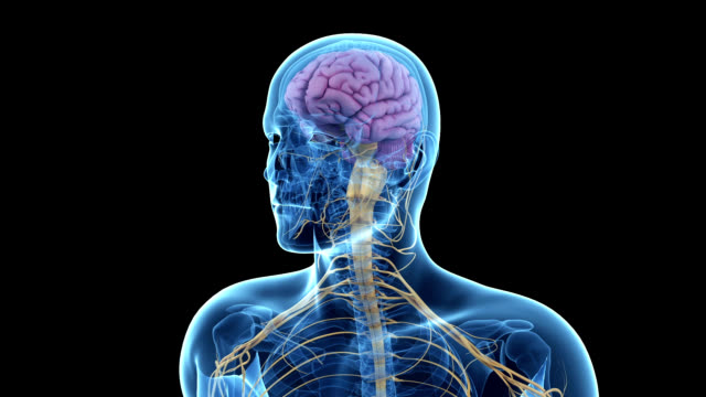 human brain and nervous system - human nervous system stock videos & royalty-free footage