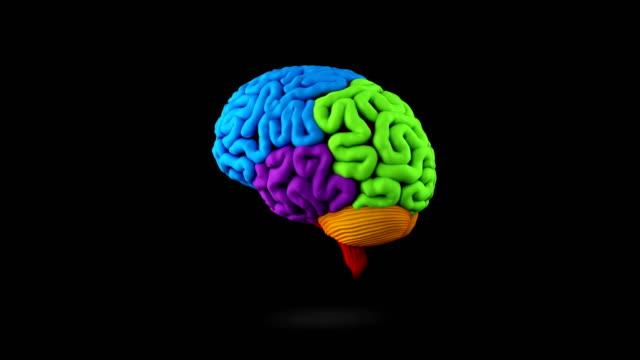 vídeos de stock, filmes e b-roll de loop do cérebro humano - telencéfalo
