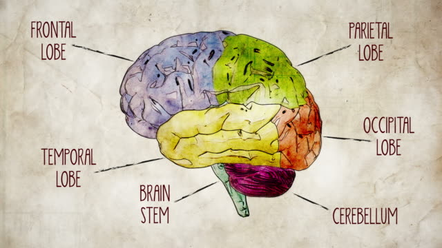 human brain parts - drawing activity stock videos and b-roll footage
