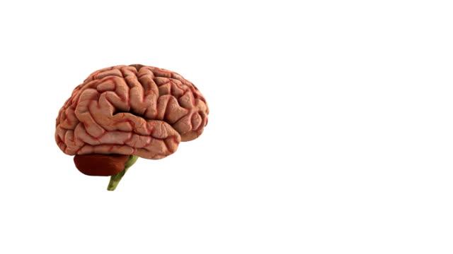 vídeos de stock, filmes e b-roll de cérebro humano - lobo temporal