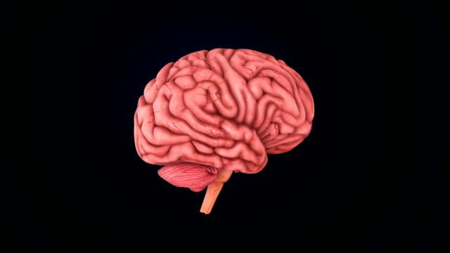 vídeos de stock, filmes e b-roll de cérebro humano - telencéfalo