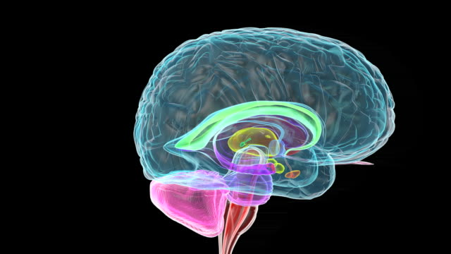 human brain - biomedical illustration video stock e b–roll