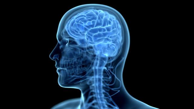 human brain - biomedizinische illustration stock-videos und b-roll-filmmaterial