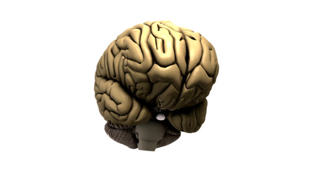 human brain - cerebrum video stock e b–roll