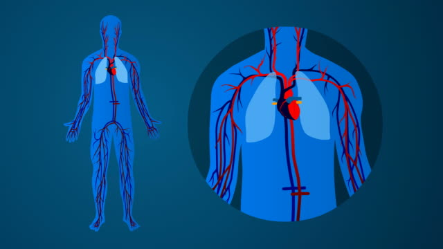 Human cardiovascular circulatory system: blue background