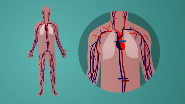 Human cardiovascular circulatory system: green background