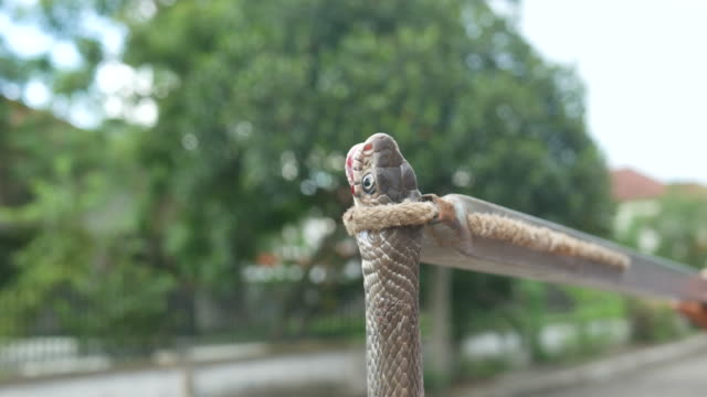 human catching a big snake, Copper-headed Racer