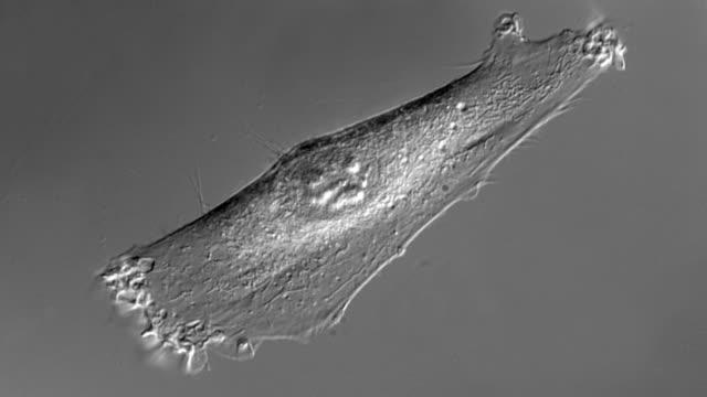 vídeos de stock e filmes b-roll de de células humanas de cultura - estrutura da célula
