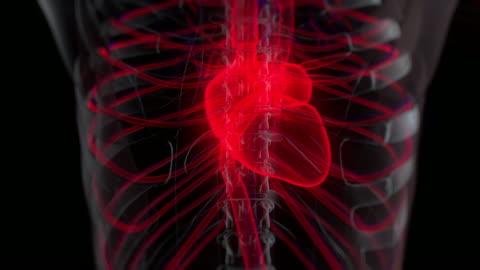 human circulatory system anatomy - animal body part stock videos & royalty-free footage