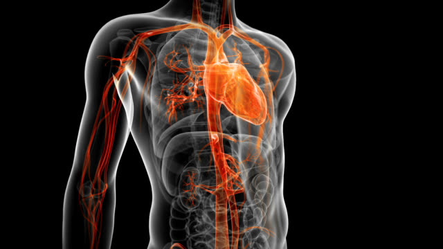 human circulatory system - anatomy stock videos & royalty-free footage