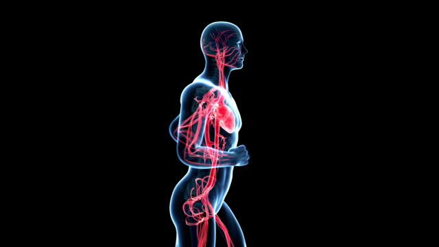 human circulatory system - anatomie stock-videos und b-roll-filmmaterial