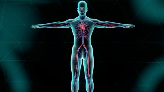 sistema circolatorio umano con cuore - sistema cardiovascolare video stock e b–roll