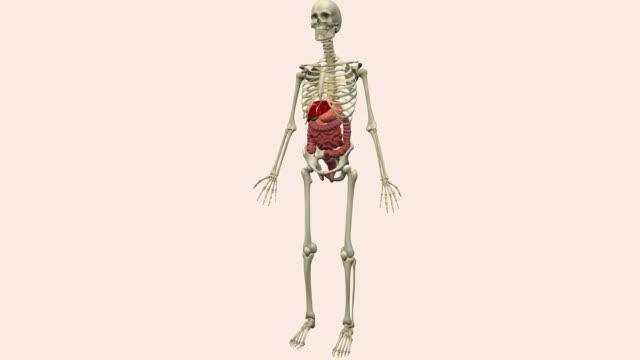 vidéos et rushes de human digestive system - illustration biomédicale