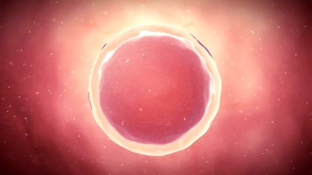 human egg cell - ovulo video stock e b–roll