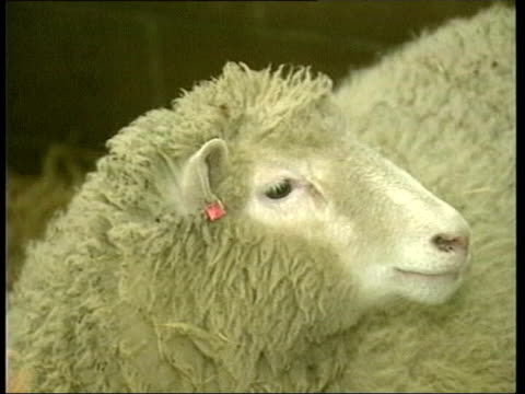 stem cell research hopes; itn generics from server scotland: edinburgh: roslin institute: dolly the sheep tx 12.2.2004/late - sheep stock videos & royalty-free footage