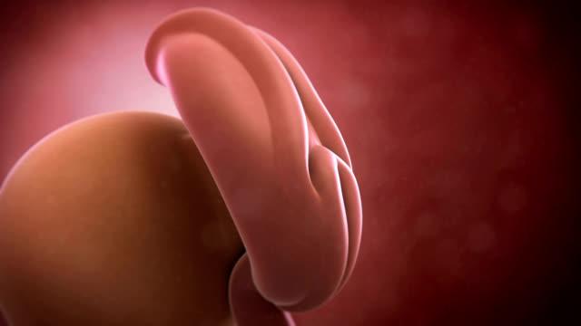 Human embryo, week 4