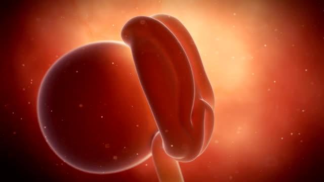 vídeos de stock, filmes e b-roll de human embryonic development - cuidado pré natal