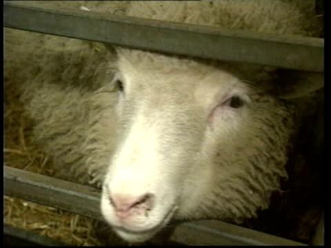 human embyro cloned; lib scotland: edinburgh: roslin institute: int dolly the cloned sheep in pen - itv late evening bulletin点の映像素材/bロール