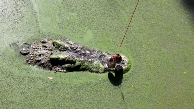 Human hand feeding Crocodile eating fish