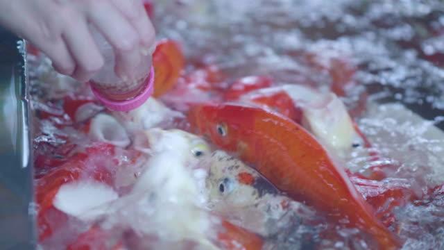 human hand feeding food for carp fish - animal hospital stock videos & royalty-free footage