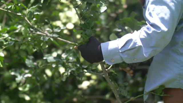 human hand harvesting a bergamot. - herb stock videos & royalty-free footage