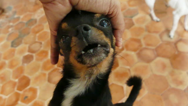 Human hand patting chihuahua dog head