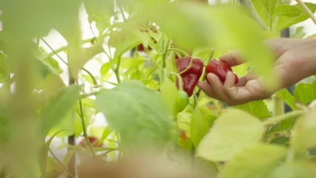 Menselijke hand plukken van een rode peperplant