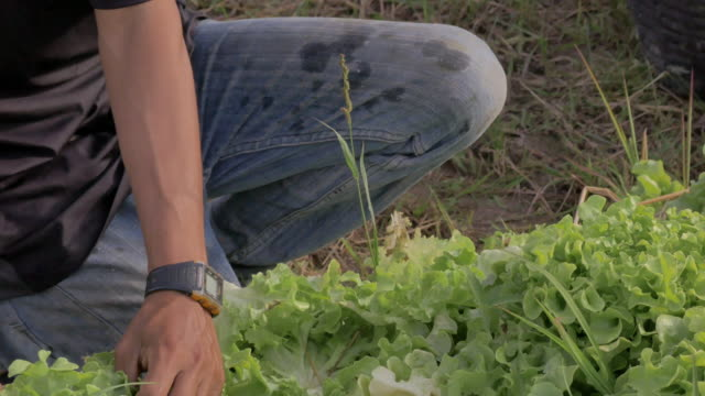 human hand picking lettuce. cultivated vegetable in organic farm - picking harvesting stock videos & royalty-free footage