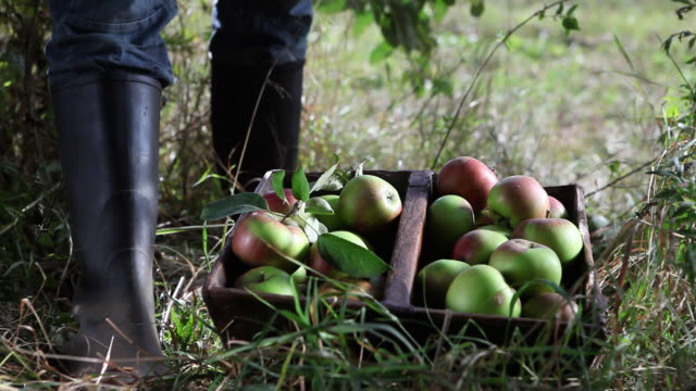 vidéos et rushes de cu human hand putting picked organic apples in basket on ground / brodowin, brandenburg, germany - panier