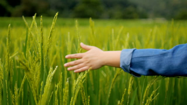 Human Hand touching rice field green nature background