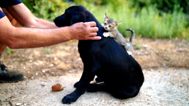 human hands putting kitten on black retriever back - dog and cat stock videos and b-roll footage