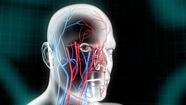 vídeos y material grabado en eventos de stock de cabeza humana sistema vascular - ilustración biomédica