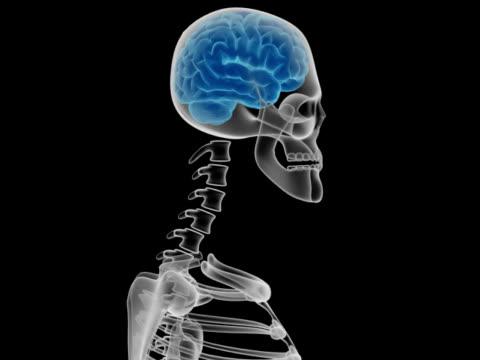 vídeos de stock, filmes e b-roll de cabeça humana com cérebro e ossos - telencéfalo