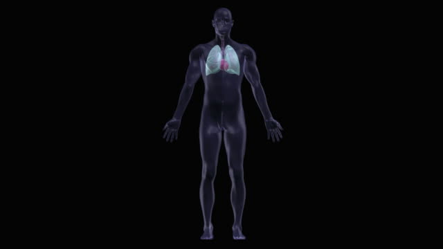 human heart and lung - biomedical illustration video stock e b–roll