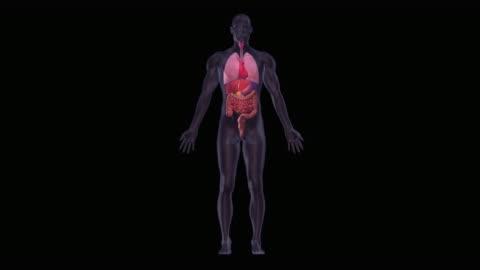 stockvideo's en b-roll-footage met human heart and organs - mensenlever