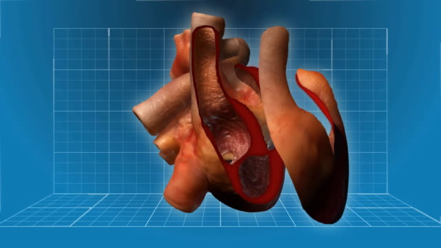 stockvideo's en b-roll-footage met human heart beating - cutaway animation - anatomie
