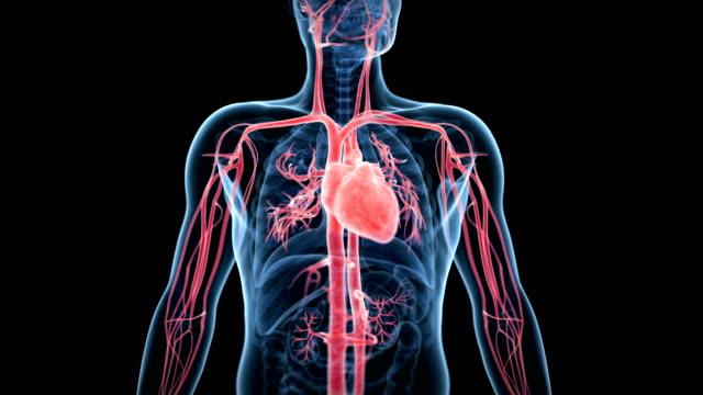 vídeos de stock, filmes e b-roll de human heart beating - anatomia